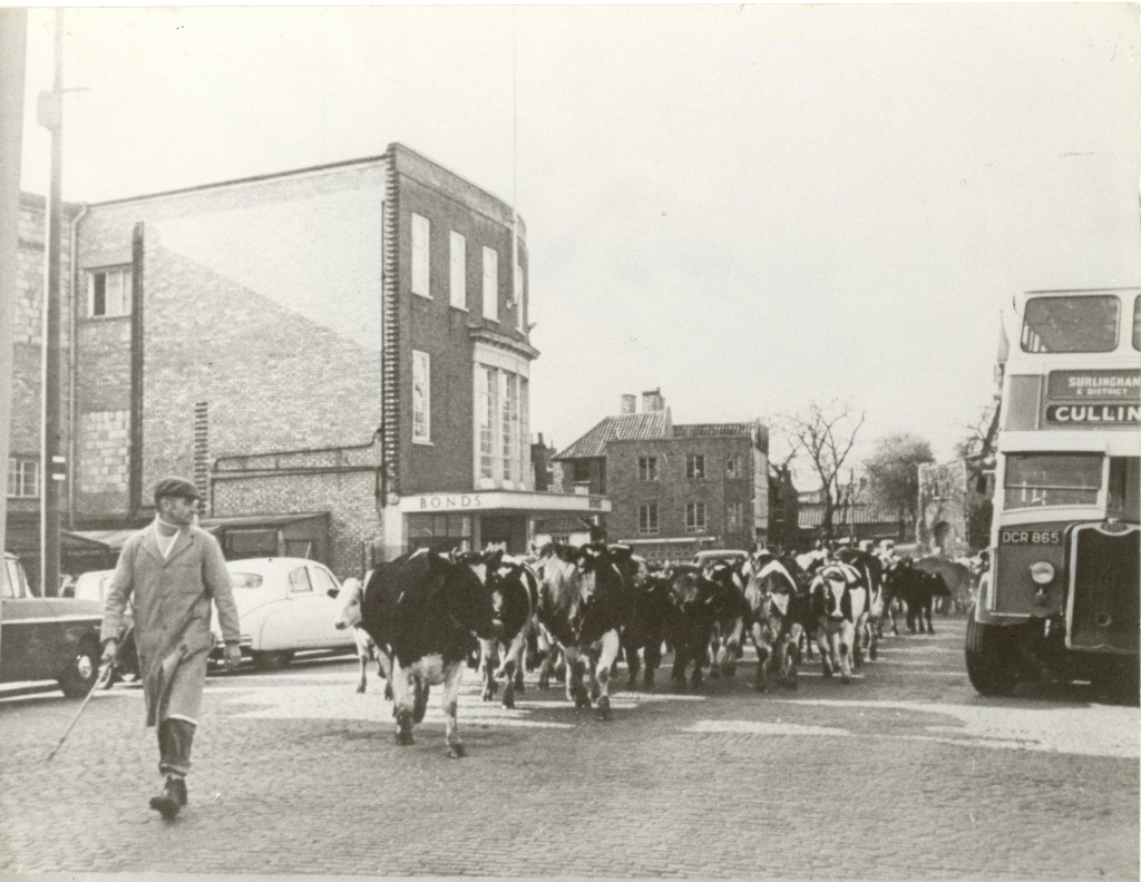 Cattle being led through Norwich